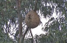 Los nidos de la avispa asiática son muy característicos.