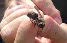 Imagen de una avispa asiática muerta retirada en Segur de Calafell.