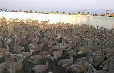 Anellen 400 polls de flamenc al Parc Natural del Delta de l'Ebre per fer-ne seguiment
