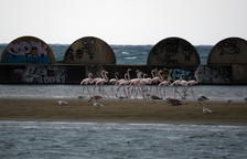 Aparició insòlita d'un grup de flamencs a la platja de Cubelles