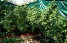 Plantes de marihuana decomissades en l'operatiu al barri de Sant Llàtzer.