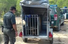 El porc senglar en una gàbia sent traslladat per alliberar-lo a un altre lloc.