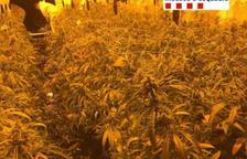 Intervienen casi 4.000 plantas de marihuana en varios pueblos de la Ribera d'Ebre