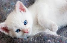 Feromones felines, el llenguatge secret del teu gat