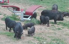 La UAB alerta de que los cerdos vietnamitas en libertad pueden contagiar enfermedades