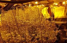 Desmantelan una plantación de marihuana con más de 1.000 plantas en Calafell