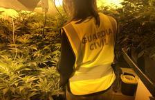 Desmantellen una plantació amb 241 plantes de marihuana a la Bisbal del Penedès