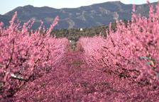L'afloració dels fruiters torna a convertir-se en atracció turística a la Ribera d'Ebre