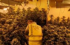 La plantació de marihuana contava amb 230 plantes.
