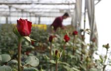Els floricultors preveuen un Sant Jordi de rècord per la coincidència amb la campanya del 28-A
