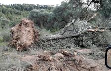 Un olivo arrancado en el camino de Almatret.