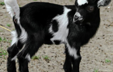 Una entitat busca adoptants per cabres rescatades