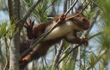 Alliberen un grup d'esquirols que va caure del niu a Ribera d'Ebre