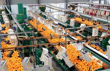 El sector de los cítricos reclama a la UE que regule el mercado: «No aguantaremos otra campaña como la de este año»