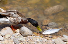 Investiguen la mort de 70 peixos a la desembocadura del Foix