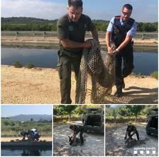 Rescaten una cabirol de dintre del canal de la dreta del riu Ebre