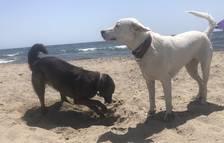Dos perros disfrutando de la playa a Mont-roig.