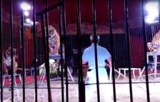 Quatre tigres devoren el seu domador durant un assaig
