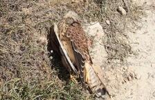 El ejemplar de halcón muerto recientemente.
