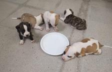 Busquen adoptants per cinc cadells de gos que van abandonar dins una capsa a Calafell