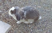 Un conill abandonat a Salou busca família