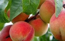 UP alerta que la calor elevarà fins al 30% les pèrdues en préssec i nectarina a la Ribera d'Ebre i el Baix Segre