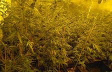 Desmantellat un cultiu de milers de plantes de cànnabis a Cambrils que controlaven dos veïns de Vila-seca