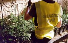 Detienen un matrimonio por cultivar más de 500 plantas de marihuana en Tivissa