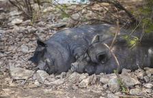 La colònia de porcs vietnamites de SPiSP triplica els exemplars en un any