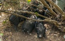 L'Ajuntament de Torredembarra sacrificarà la colònia de 33 porcs vietnamites del municipi