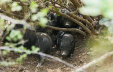 El Ayuntamiento de Tarragona se llevará los cerdos vietnamitas lejos de SPiSP