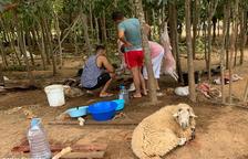 Sis denunciats per sacrifar xais de forma irregular a Vilallonga del Camp