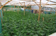 Dos detenidos por cultivar unas 1.800 plantas de marihuana en la Bisbal
