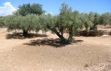 El retorn de la pluja a l'Ebre deu mesos després beneficia els conreus, especialment l'olivera