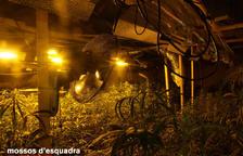 La operación policial en Santa Bàrbara acaba con más de 1.300 plantas de marihuana decomisadas