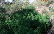 Els Mossos comissen una plantació de 2.800 plantes de marihuana al Pinell de Brai