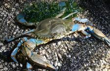 Preocupación por el aumento de la población de cangrejo azul en la playa de Tamarit