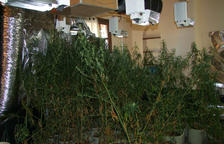 Detenen cinc persones que s'encarregaven d'una plantació interior de marihuana a Santa Oliva