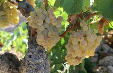Primer pla de raïm en una vinya de la DO Terra Alta. Imatge publicada el 10 d'octubre del 2019
