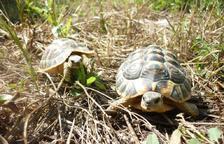 Les tortugues repoblen el Montsant