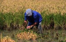 La cosecha del arroz se mantiene estable por el buen rendimiento de variedades como el Bomba y JSendra