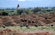 Decenas de buitres visitan regularmente granjas del Baix Ebre para alimentarse de cadáveres