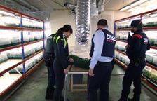 Desmantelan una plantación de marihuana en una nave del polígono de Constantí