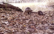 Aparecen crías de nutria en la reserva natural de Sebes en Flix