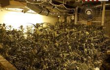 A presó un veí de Tortosa que conreava un miler de plantes de marihuana al seu xalet