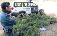 Confiscats més de 100 quilos de llentiscle recol·lectats a Tortosa sense autorització