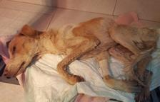 Una entidad protectora lucha por salvar un perro rescatado con un «aliento de vida»