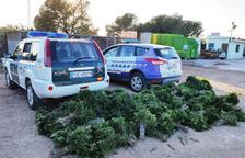 Enxampen sis veïns de Reus que havien recol·lectat gairebé 400 quilos de llentiscle al Perelló