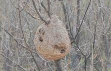 L'Arboç empieza las tareas de eliminación de colmenas de avispa|vespa asiática