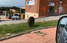 Un jabalí se pasea por las calles de los Pallaresos
